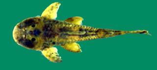 Hemipsilichthys gobio
