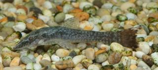 Hisonotus sp. (1)