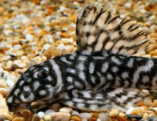 Hypancistrus sp. `LOWER RIO XINGU`