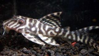 Hypancistrus sp. (L236)