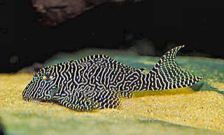 Hypancistrus sp. (L260)