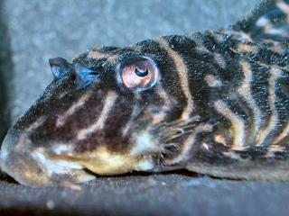 Hypancistrus sp. (L270)