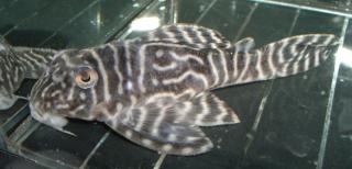 Hypancistrus sp. (L318)