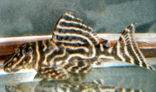Hypancistrus sp. (L340)
