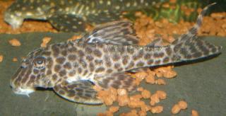 Hypancistrus sp. (L400)