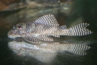 Hypancistrus sp. (L411)