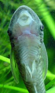 Hypoptopoma thoracatum