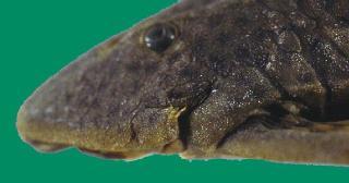 Hypostomus aspidolepis