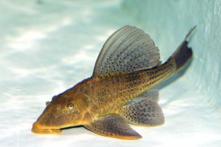 Hypostomus commersoni