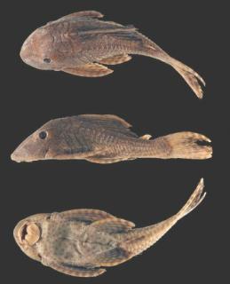 Hypostomus ericius