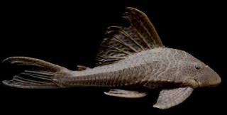 Hypostomus hondae