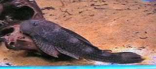 Hypostomus isbrueckeri