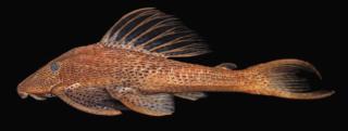 Hypostomus kopeyaka