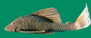 Hypostomus maracaiboensis