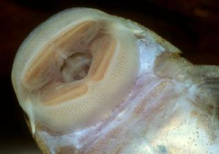 Hypostomus mutucae