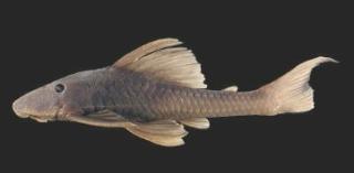Hypostomus pagei