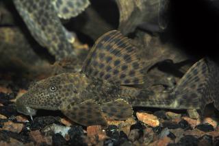 Hypostomus plecostomoides