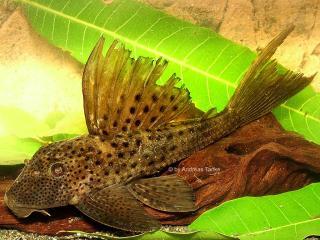 Hypostomus sp. `RIO JATAPU 2`