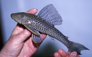 Hypostomus sp. (1)