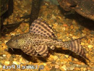 Hypostomus sp. (8)