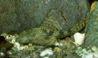 Hypostomus sp. (L087)