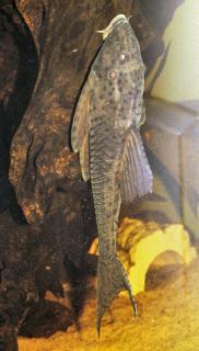 Hypostomus sp. (L138)