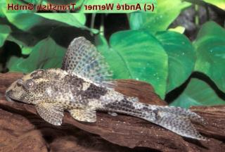 Hypostomus sp. (L139)