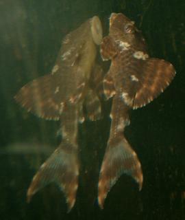 Hypostomus sp. (L229)