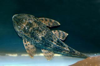 Hypostomus sp. (L231)