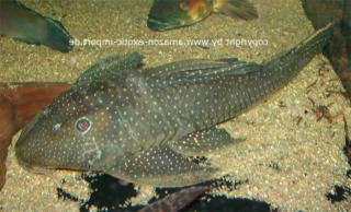 Hypostomus sp. (L286)