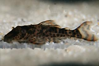 Hypostomus sp. (L346)