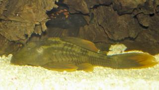 Hypostomus sp. (L360)