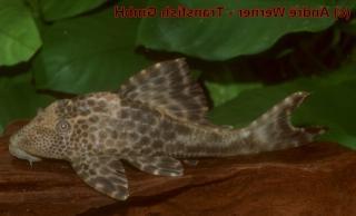 Hypostomus sp. (L381)