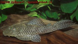 Hypostomus sp. (L388)