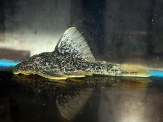Hypostomus sp. (L517)