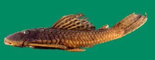 Hypostomus uruguayensis