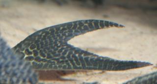 Isorineloricaria acuarius