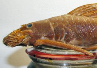 Lasiancistrus caucanus