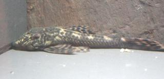Lasiancistrus cf. caucanus