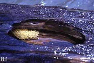 Lasiancistrus heteracanthus
