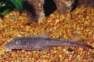 Lasiancistrus sp. (L228)