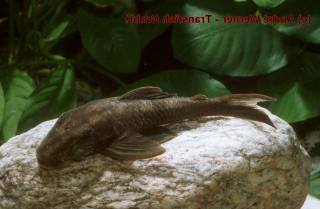 Lasiancistrus sp. (L365)