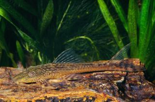 Lasiancistrus tentaculatus