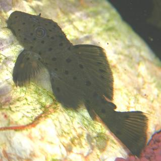 Leporacanthicus sp. (L314)
