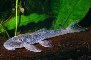 Lithoxancistrus orinoco