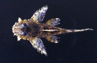 Lithoxus lithoides