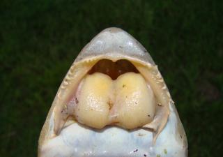 Loricariichthys anus