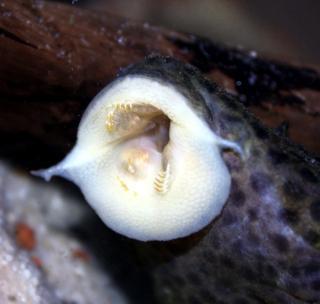 Megalancistrus parananus