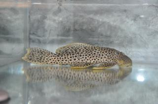 Megalancistrus sp. (L234)