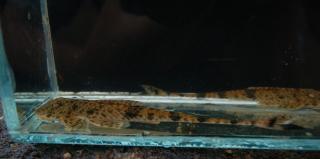 Metaloricaria nijsseni